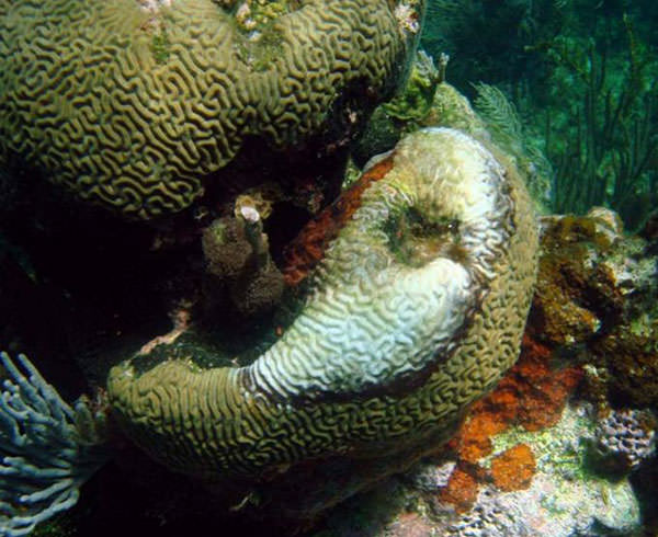 how to prevent coral disease