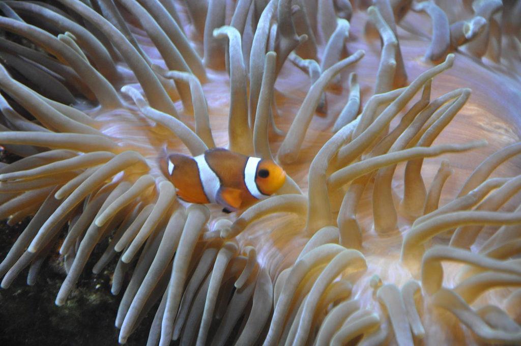 curing sick anemones