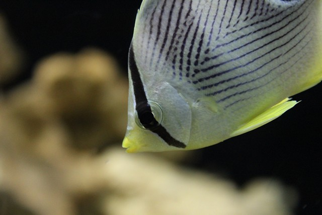 Butterflyfish tips