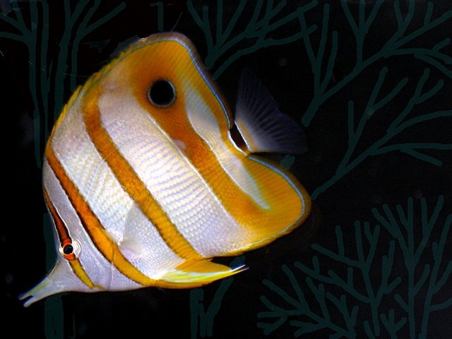 Keeping Butterflyfish in Your Saltwater Aquarium