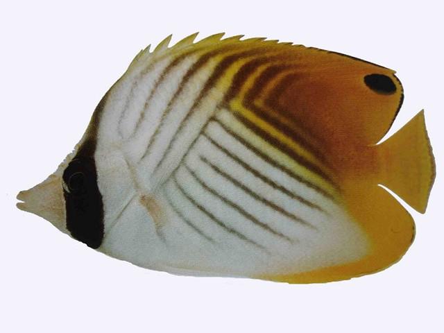 Marine Butterflyfish