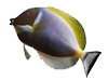powder-blue-surgeonfish