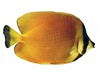 sunburst-butterflyfish