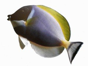Saltwater Aquarium Fish and Coral Powder Blue Surgeonfish