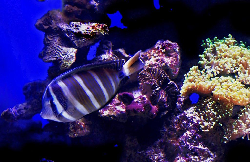 Aquarium Tangs