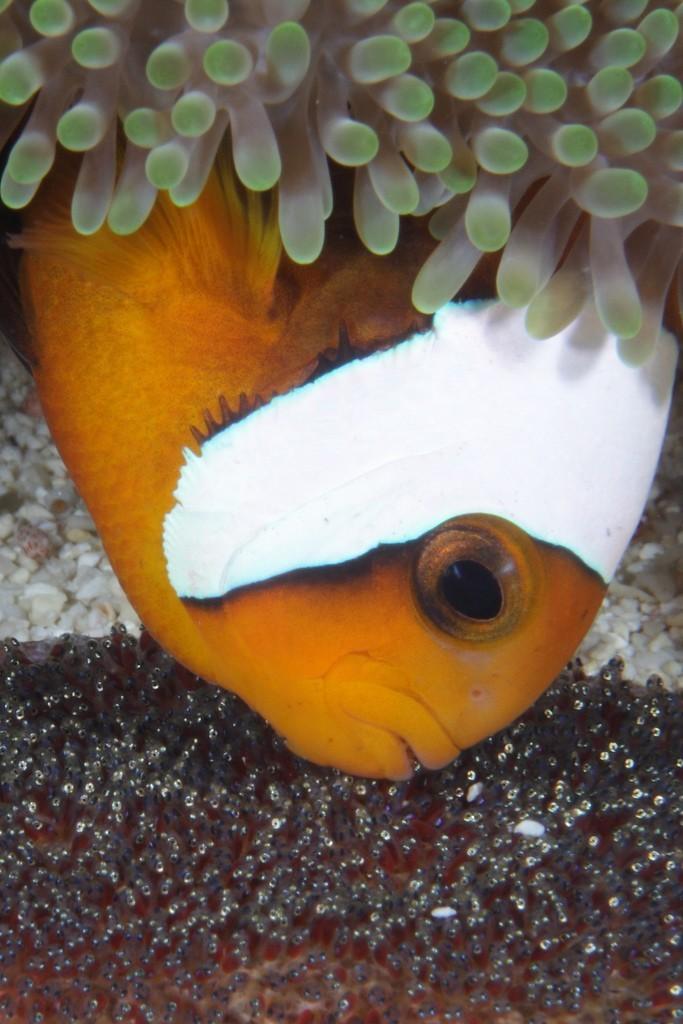 Breeding marine fish