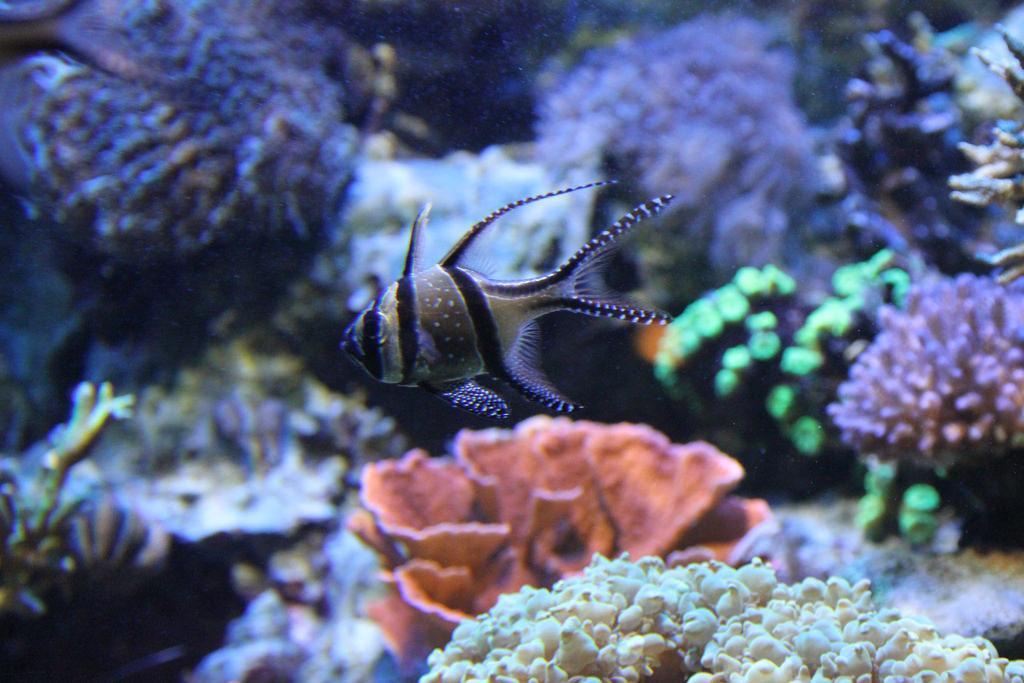Breed Banggai Cardinalfish