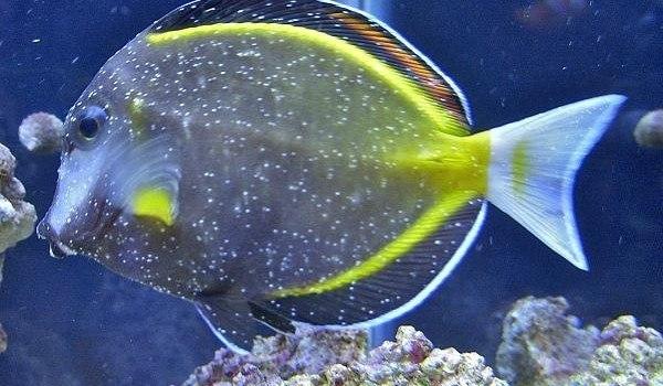 Marine whitespot disease