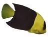 Saltwater Aquarium Advice: Bicolor Dwarf Angelfish
