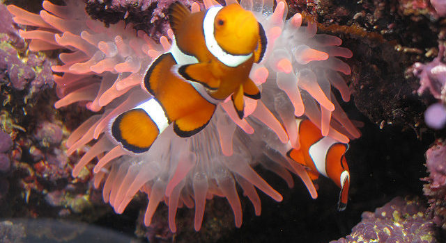 bulb tipped anemones