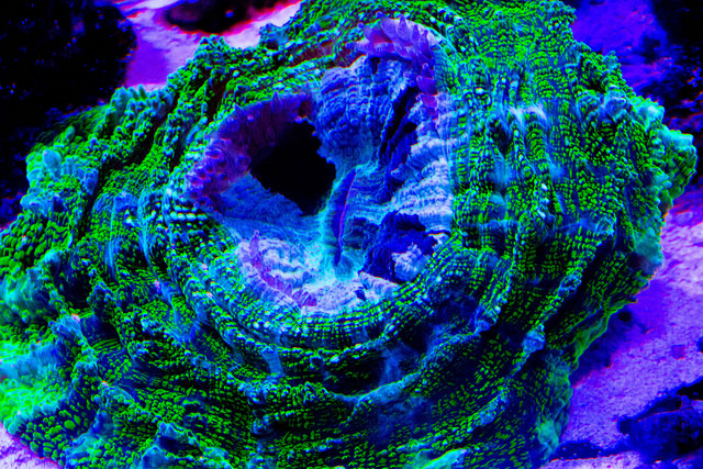 Extended large fleshy polyps make for some interesting LPS forms (image credit: Franklin Samir Dattein)