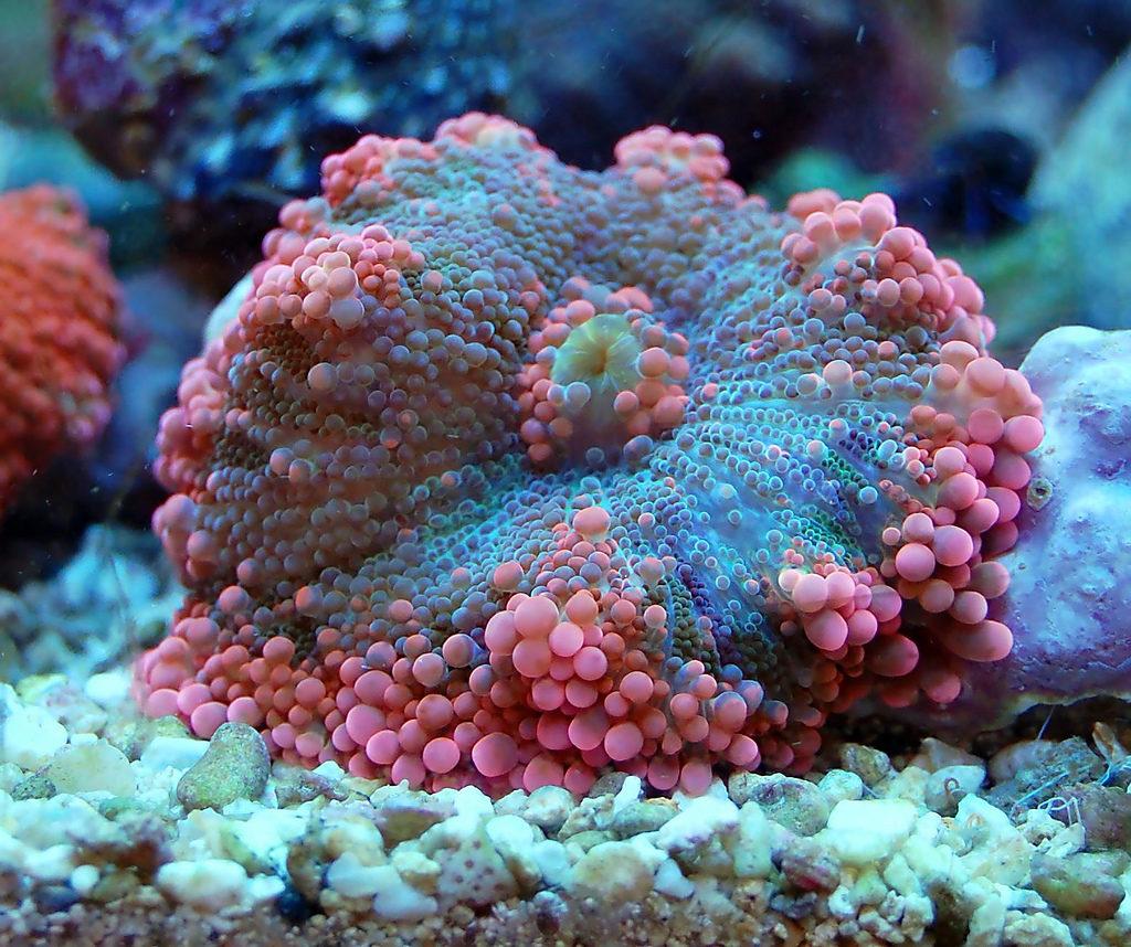 choosing LPS corals