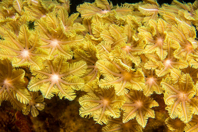soft coral info