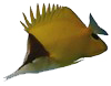 longnosed-butterflyfish