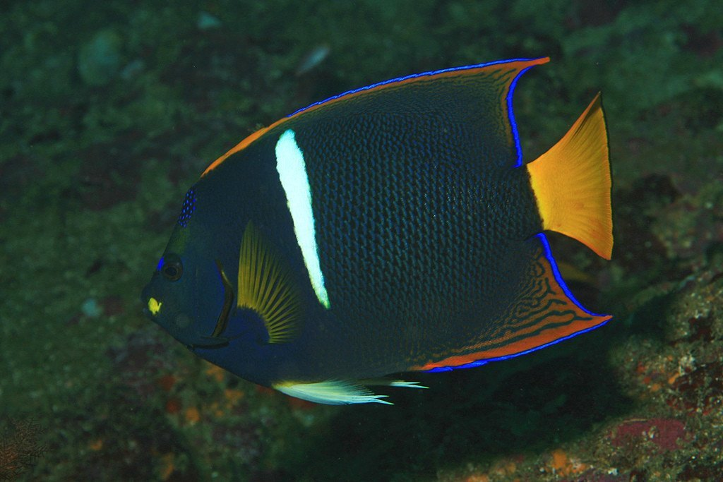 Keeping Angelfish
