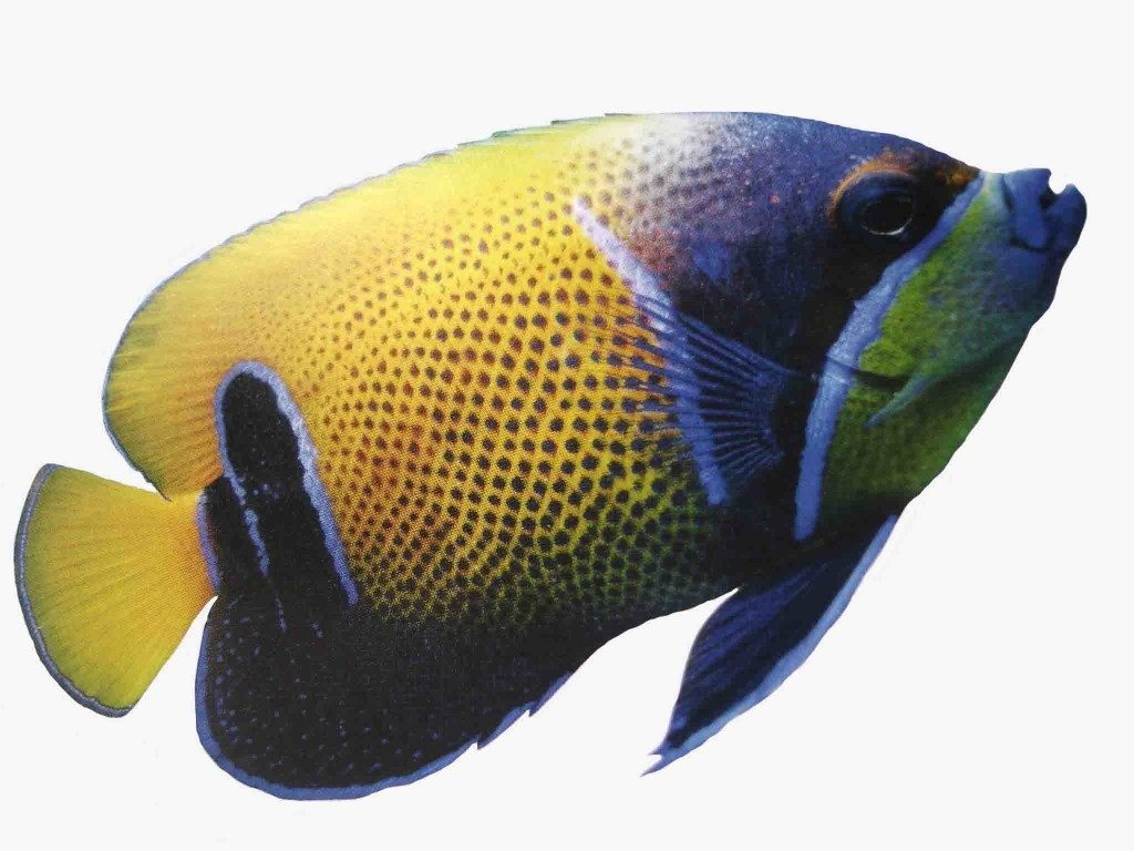 Angelfish care