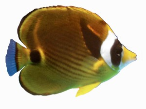Saltwater Aquarium Fish and Coral Raccoon Butterflyfish