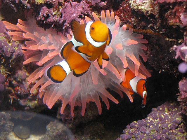 The best anemone for hosting Clownfish?