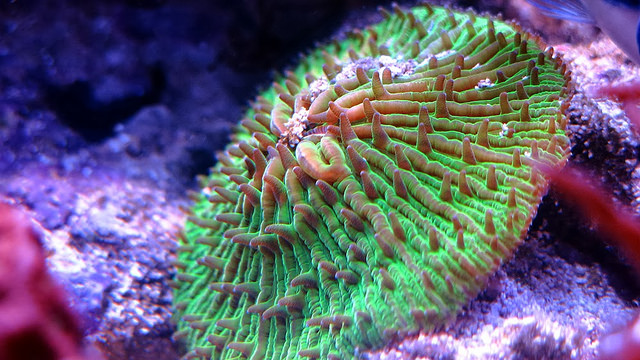 LPS versus SPS corals…which stony coral should you choose?