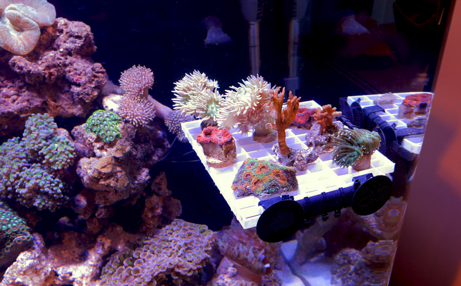 How To Get Optimal Polyp Extension In Your Corals